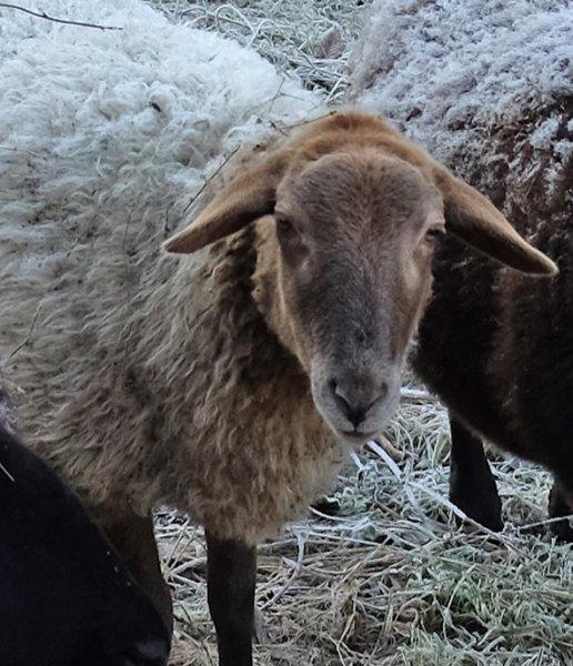 Schaf ohne Ohrmarke