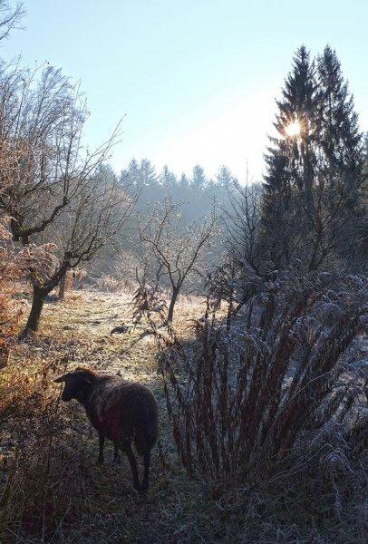 Schafe auf den Etzwiesen 4