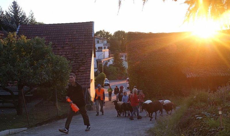 Ankunft der Schafe in Malchen 1