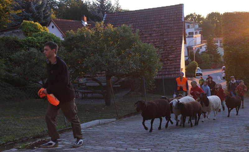 Ankunft der Schafe in Malchen 2