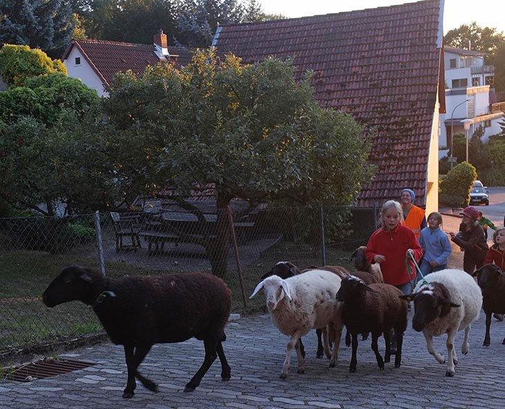 Ankunft der Schafe in Malchen 3