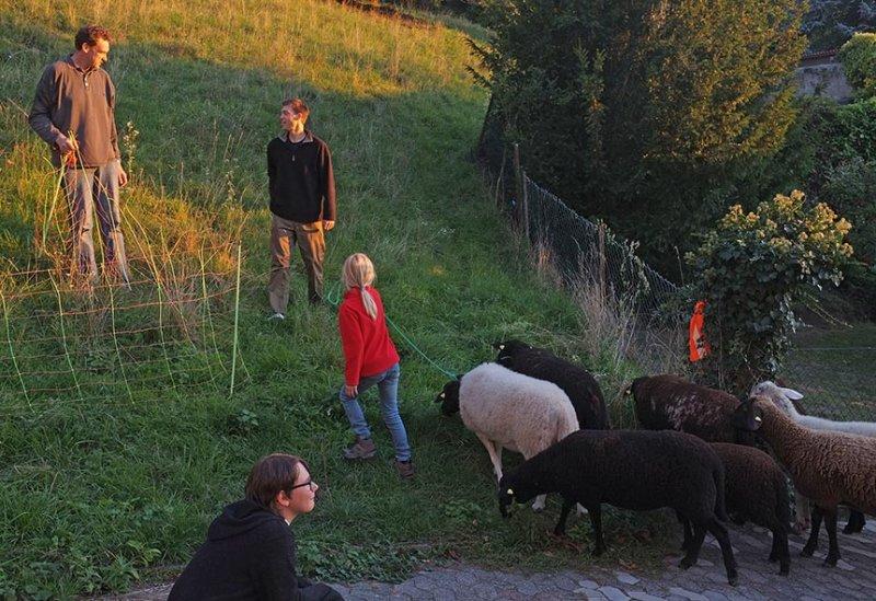 Ankunft der Schafe in Malchen 4