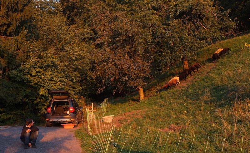 Ankunft der Schafe in Malchen 5