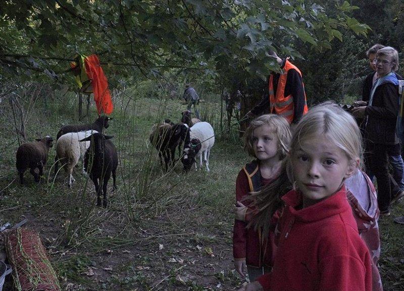 Schafe von den Etzwiesen führen 1