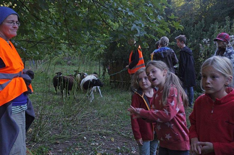 Schafe von den Etzwiesen führen 2