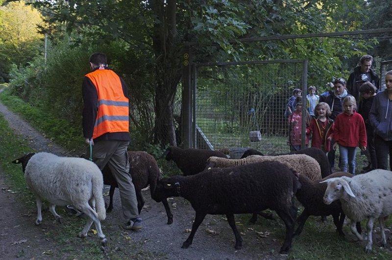 Schafe führen 3