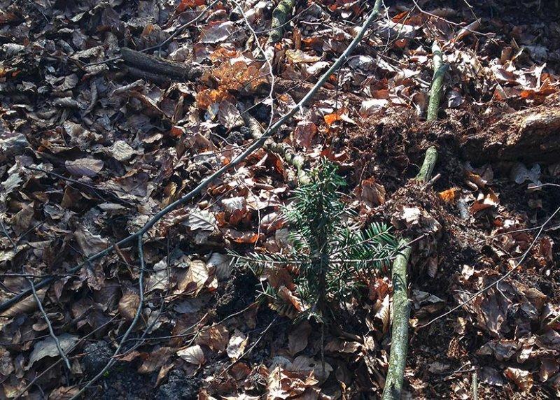 Weisstannen am Melibokus - Jungpflanze 1