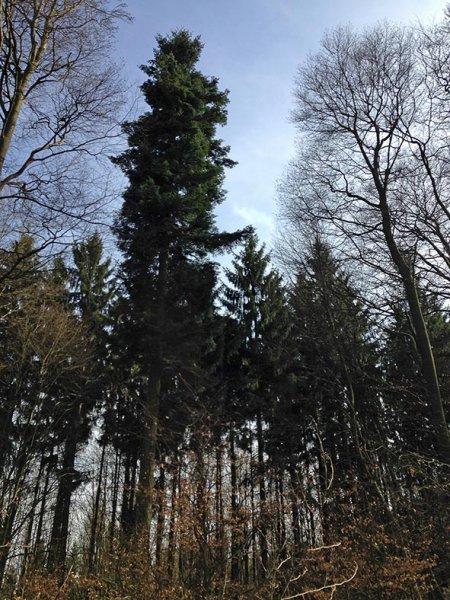 Weisstannen am Melibokus - Mutterbaum 2