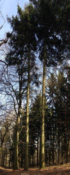 Weisstannen am Melibokus - Mutterbaum 1