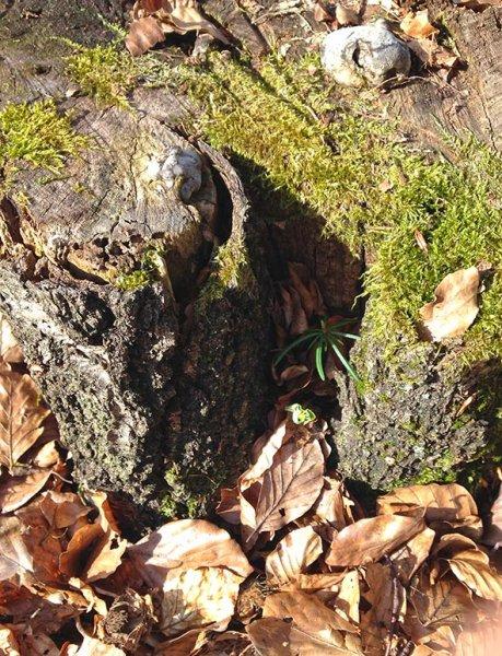 Weisstannen am Melibokus - sternförmige Jungpflanze neben Buchenkeimling