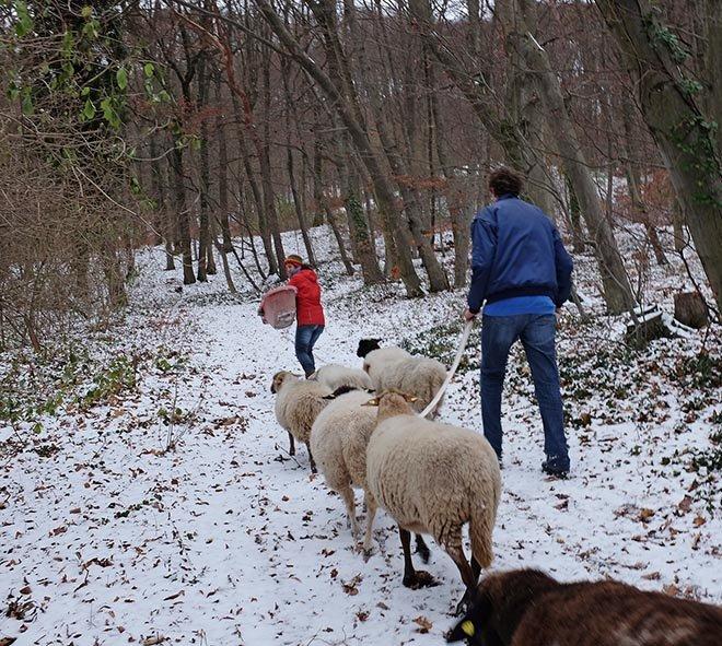 Waldwanderung mit Schafen 01