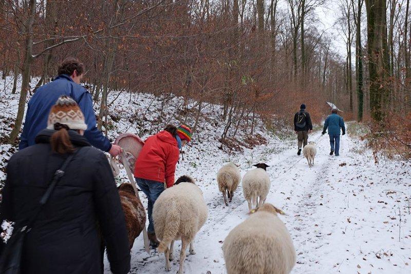 Waldwanderung mit Schafen 12