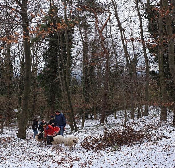 Waldwanderung mit Schafen 02
