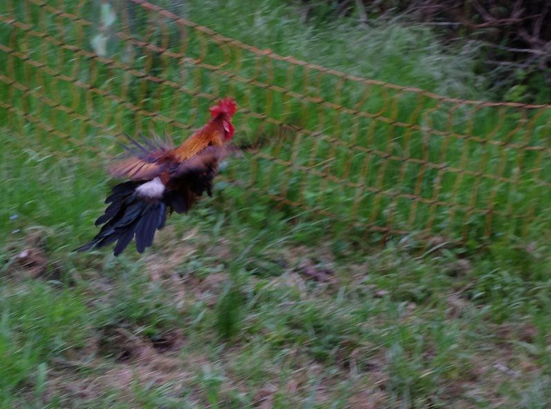 Hühner 1
