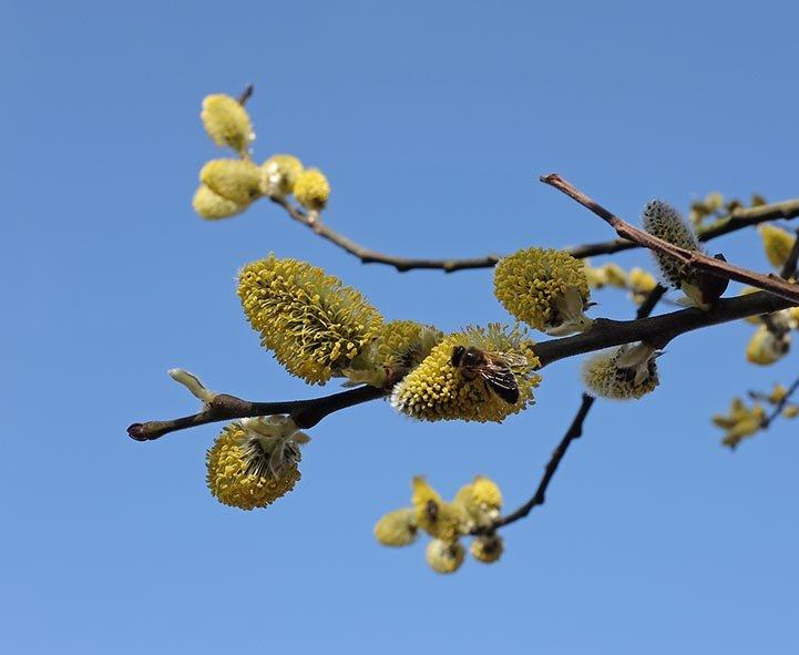 Bienenweide - Blühender Weidenbaum 3