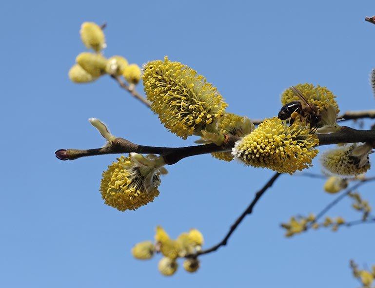 Bienenweide - Blühender Weidenbaum 4