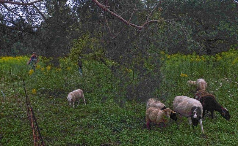 Schafgruppe auf der Bienenweide 1