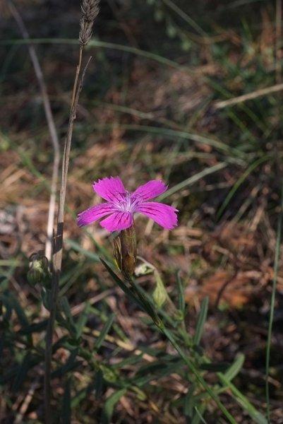 Pflanzen auf der Seeheimer Düne 1
