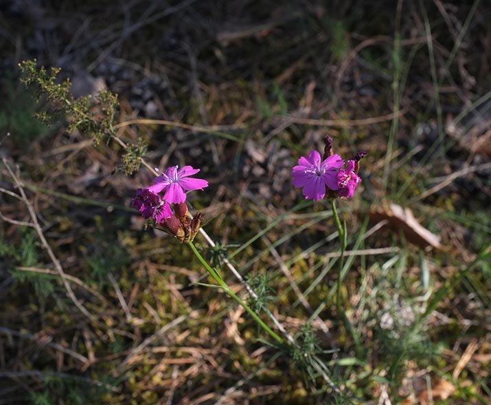 Pflanzen auf der Seeheimer Düne 2