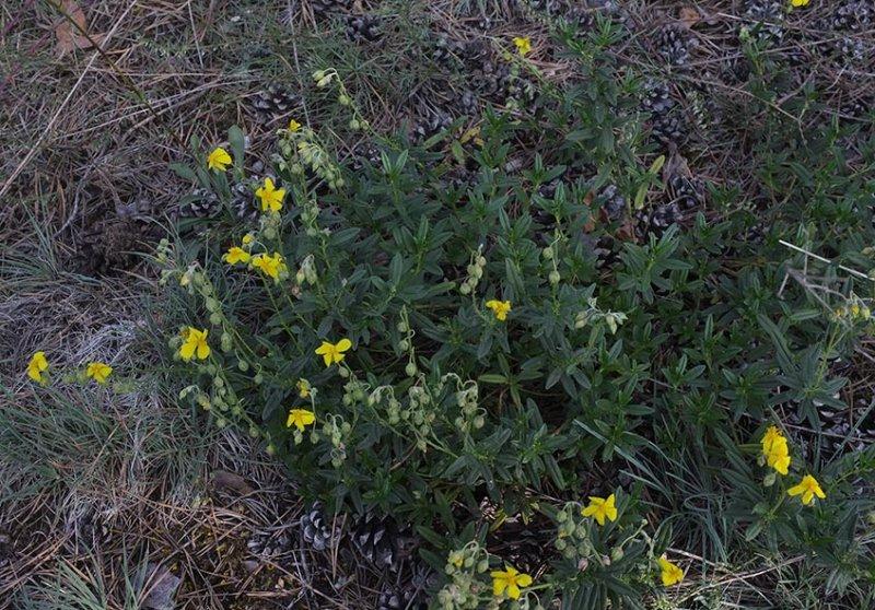Pflanzen auf der Seeheimer Düne 3
