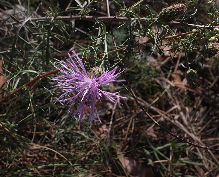 Pflanzen auf der Seeheimer Düne 4