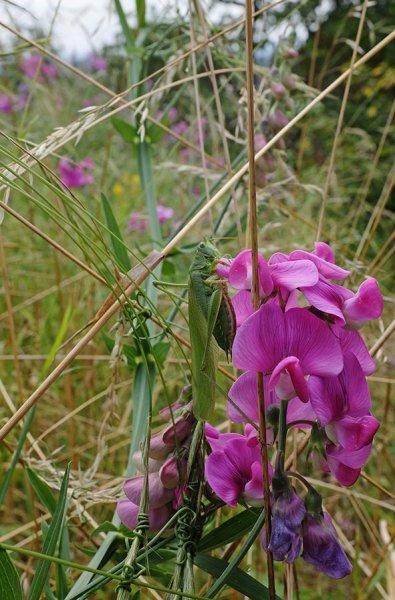 Großes Heupferd (Tettigonia viridissima)