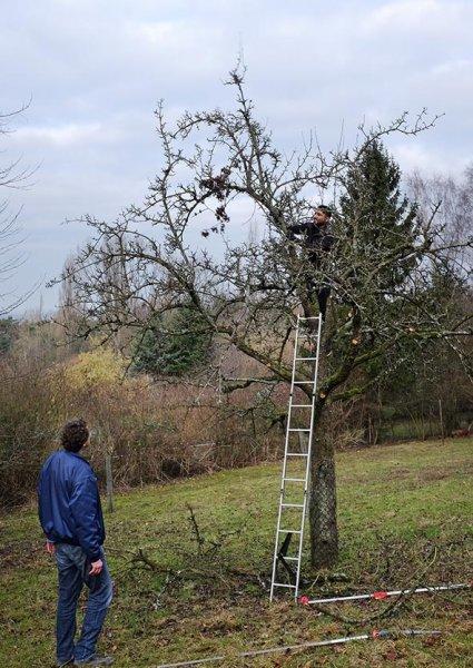 Baumschnitt Bipsweide 03