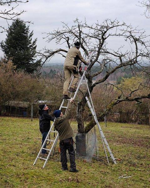 Baumschnitt Bipsweide 06