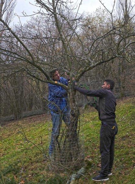 Baumschnitt Bipsweide 08