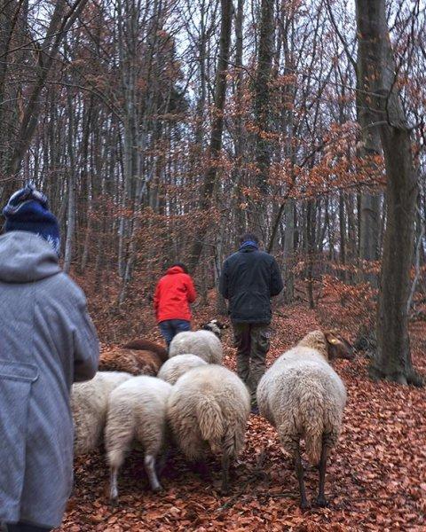 Waldwanderung mit Schafen 03 10x13s