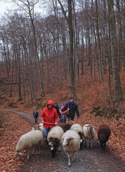 Waldwanderung mit Schafen 08 10x14s