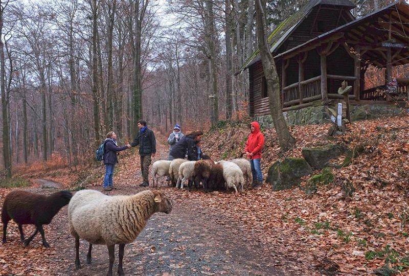 Waldwanderung mit Schafen 20 10x15s