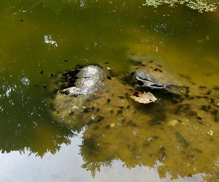 Kaulquappen im Wassersteinbruch