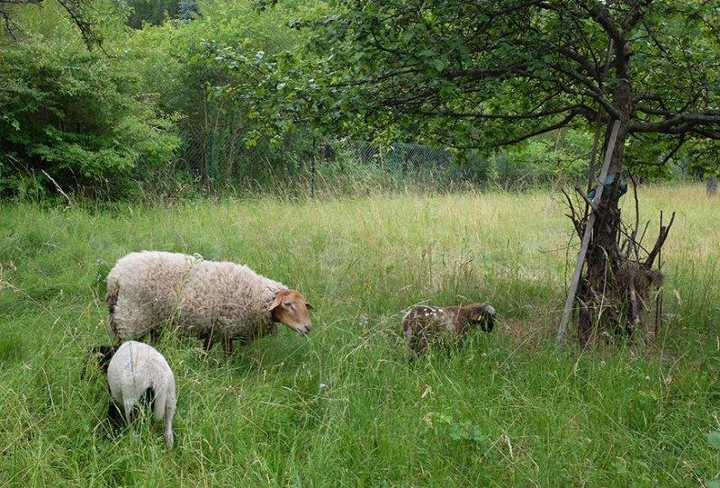 Einsatz Böckchenweide - Schaf-Besuch 4 10x15s