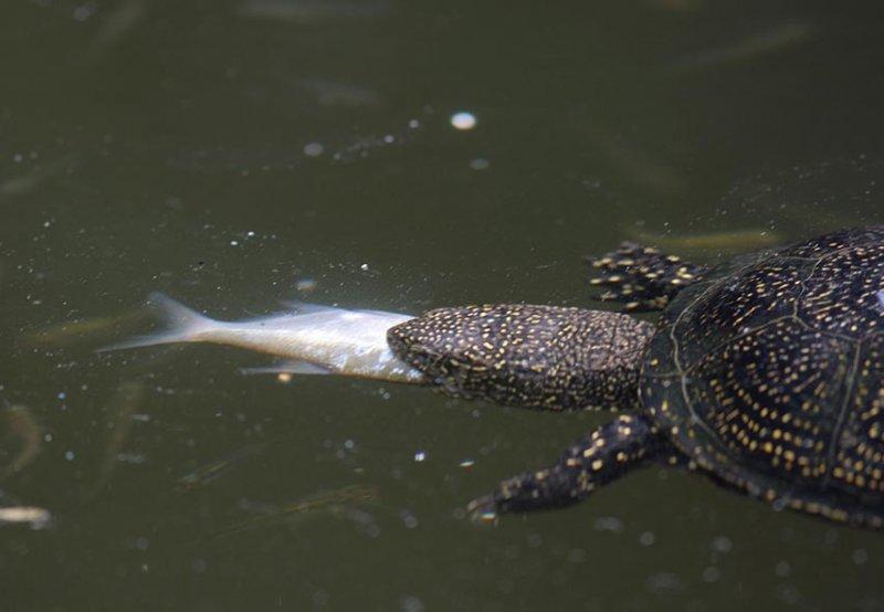 Europäische Sumpfschildkröte 1