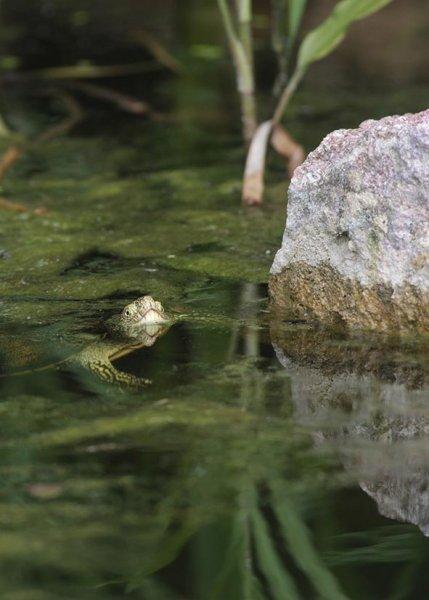Europäische Sumpfschildkröte 3