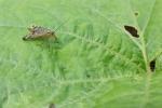 Skorpionsfliege Panorpa germanica Weibchen