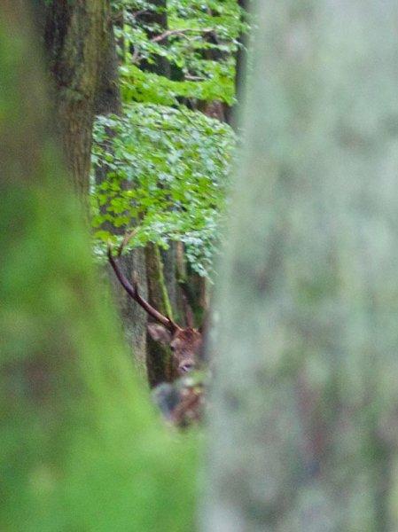 Wildbeobachtung - Portrait Rothirsch - Jan Zeissler