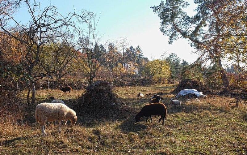 Schafe auf der Wg-Jäckel-Weide 2 10x16s