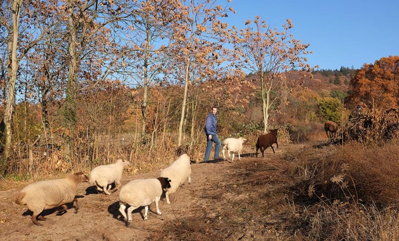 Schafe umstellen 13 10x16s