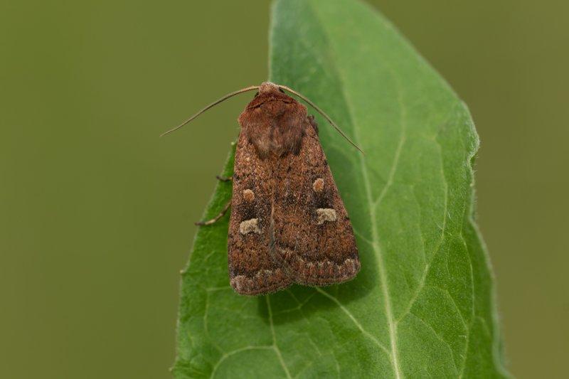 Braune Spätsommer-Bodeneule (Xestia xanthographa)