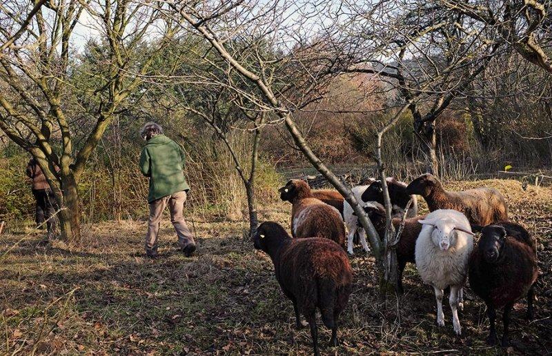 Weide an der Straba - Schafe umsetzen 2