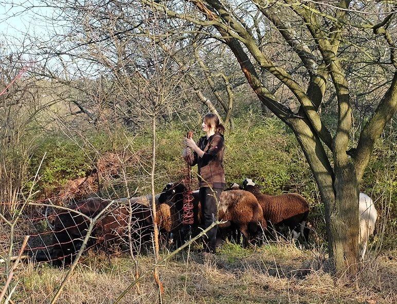 Weide an der Straba - Schafe umsetzen 3