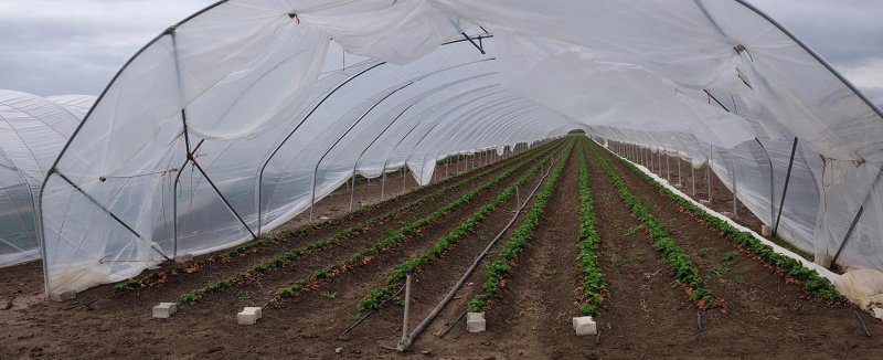 Folienzelt Fängerhoffeld Erdbeeren