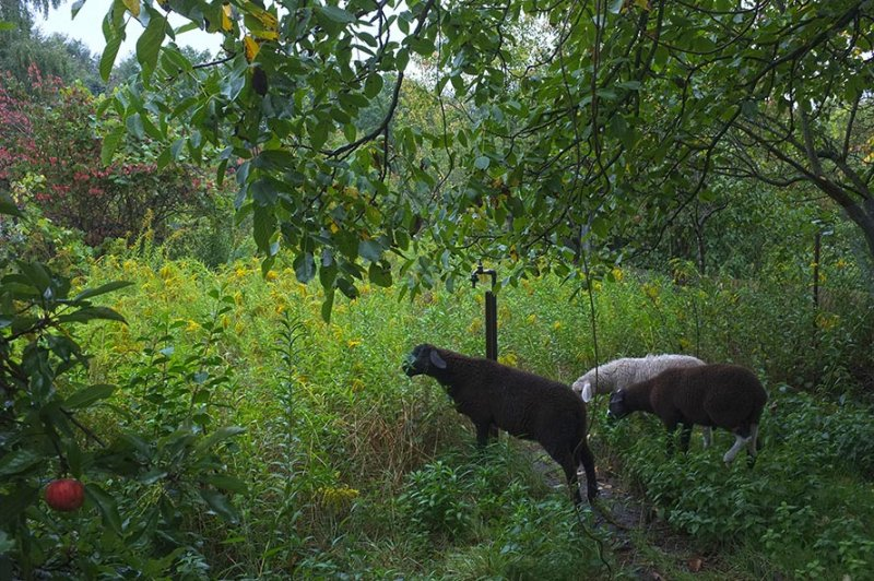 Schafgruppe - Weide an der Strassenbahn 3
