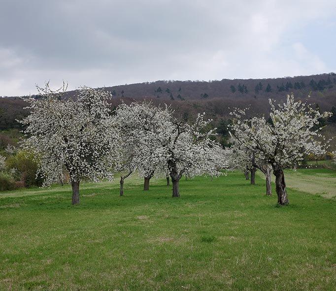 Kirschblüte in alter Streuobstwiese am Blütenhang 1 10x12 OKs