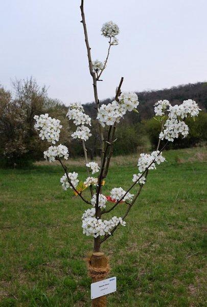 Kirschblütenfest Vorbreitung - Kirschblüte