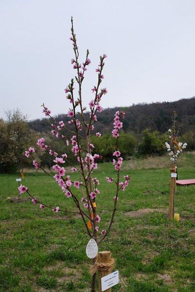 Kirschblütenfest Vorbreitung - Mandelblüte