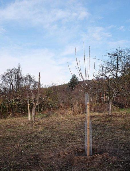 Kirschbäume Auf Der Bienenweide 1