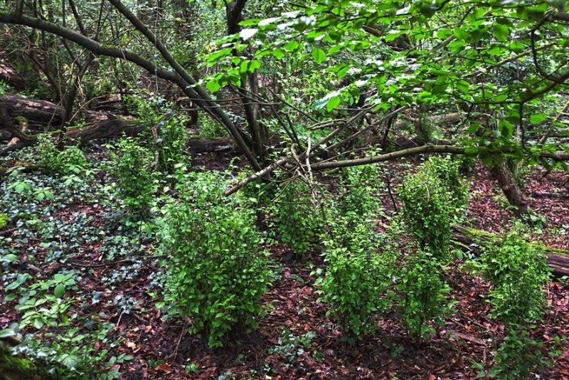 Rehverbiss im Wald am Langen Berg 1